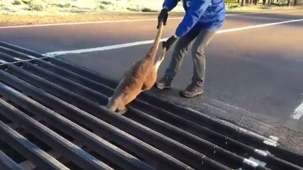 Canguru é salvo na Austrália