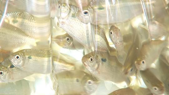 Produtores investem em lambaris para o mercado de iscas