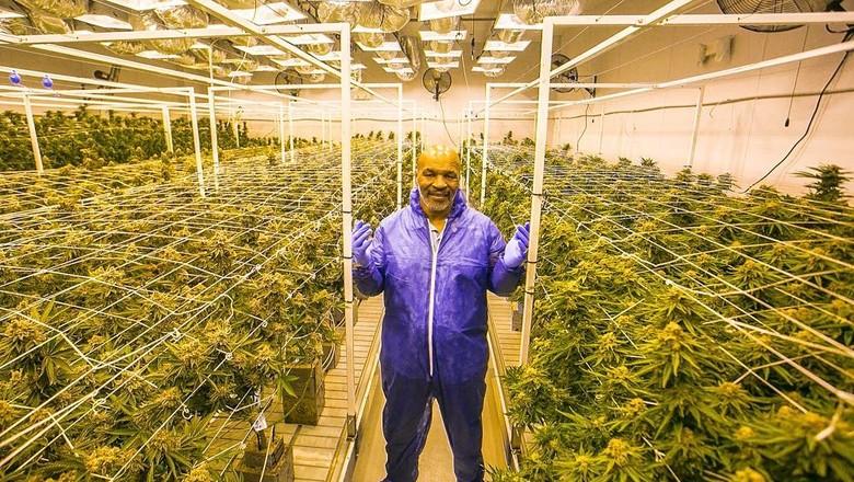 Myke Tyson em sua plantação de maconha: negócio milionário do lutador de boxe o tirou de problemas financeiros (Foto: Reprodução/Tyson Ranch/Instagram )