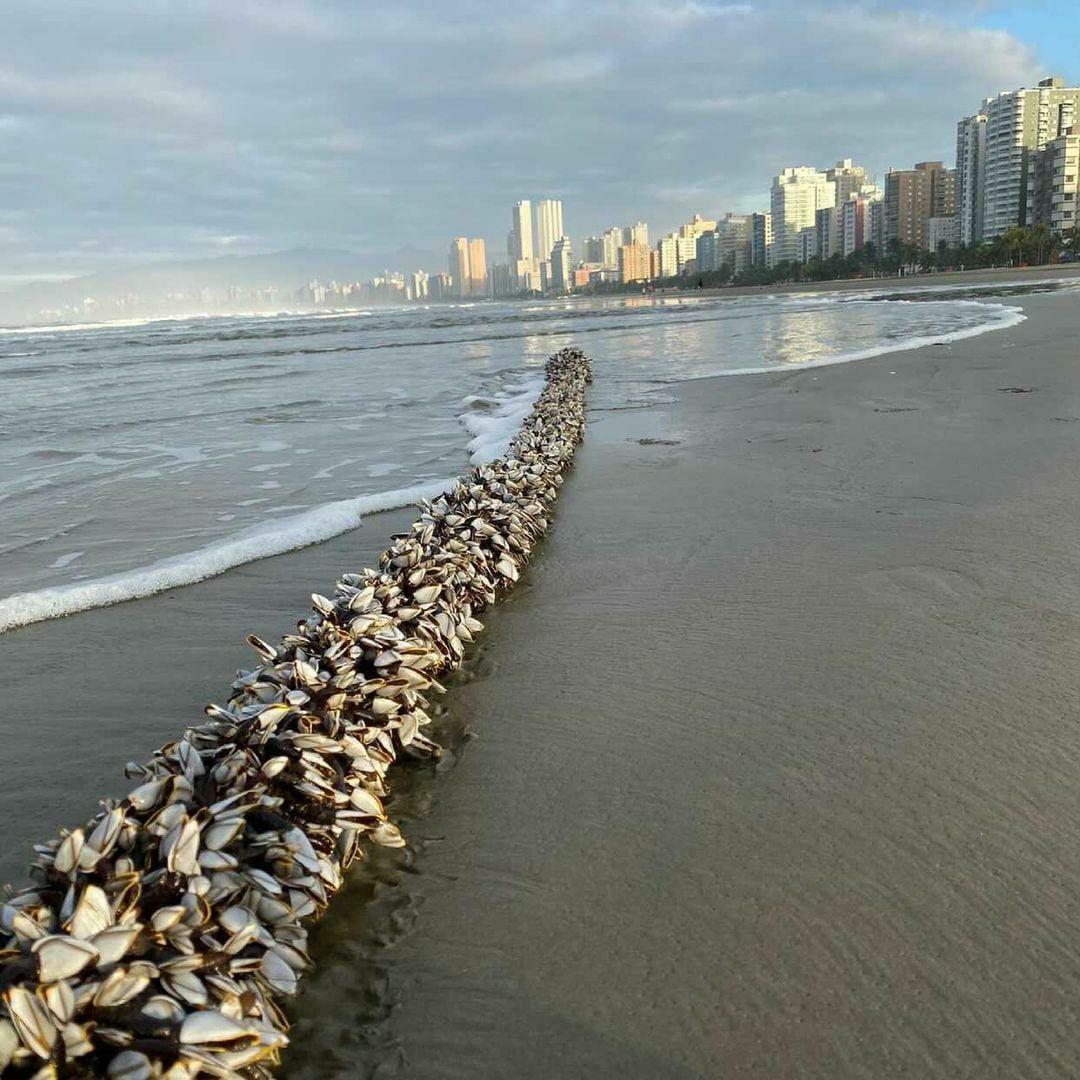 Milhares de crustáceos surgem em praia do litoral de SP e chamam a atenção de moradores; vídeo