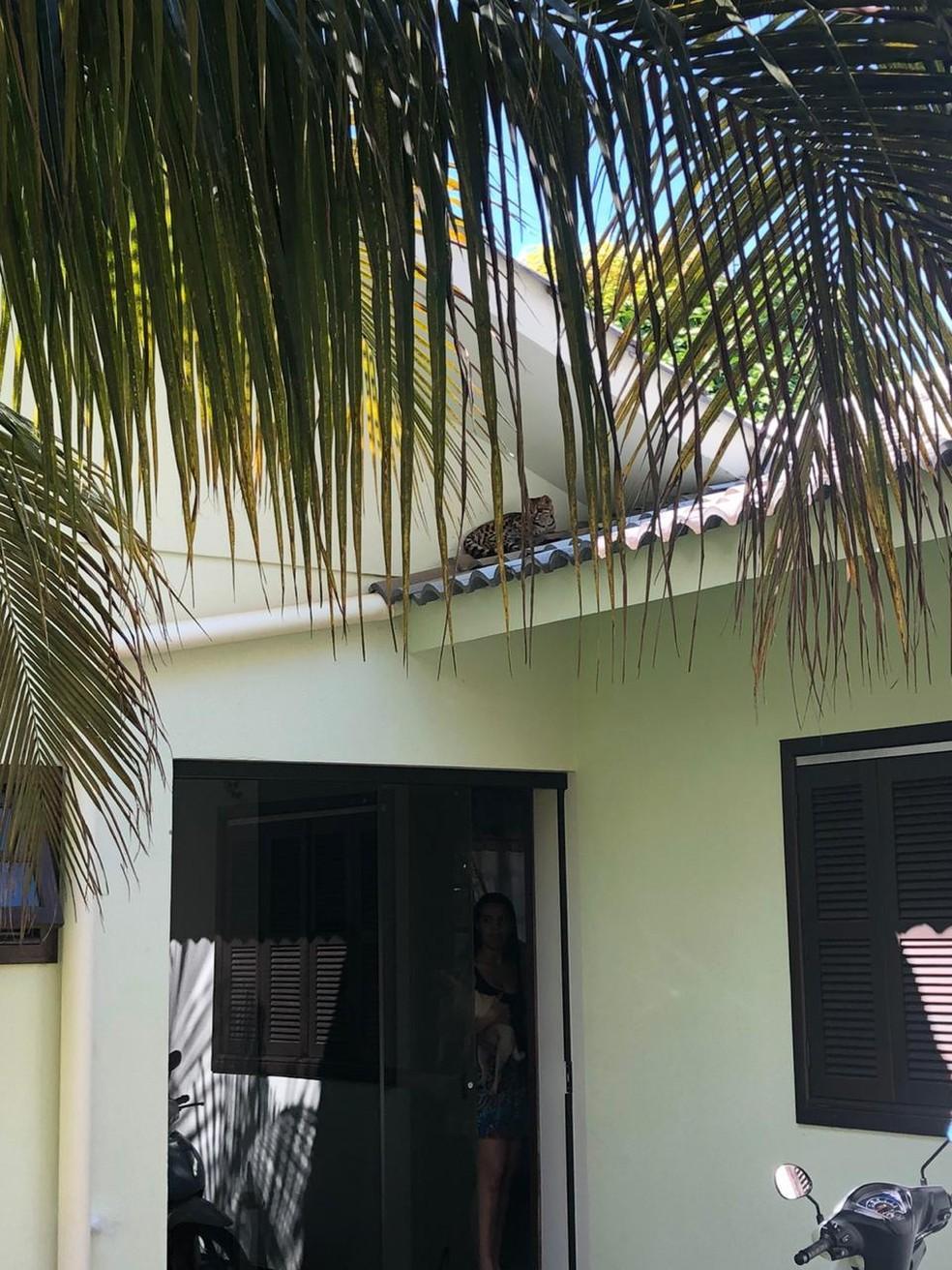 Jaguatirica foi resgatada por bombeiros em cima de árvore de casa em Sorriso — Foto: Corpo de Bombeiros de Sorriso