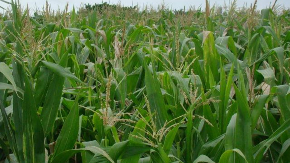 USP testa uso de bactéria que pode ampliar produção de soja e milho com menos fertilizantes