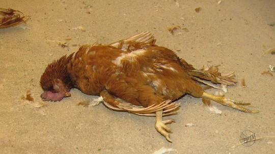 Sem ração, mais de 3 mil galinhas morrem de fome em granja de Descalvado, SP
