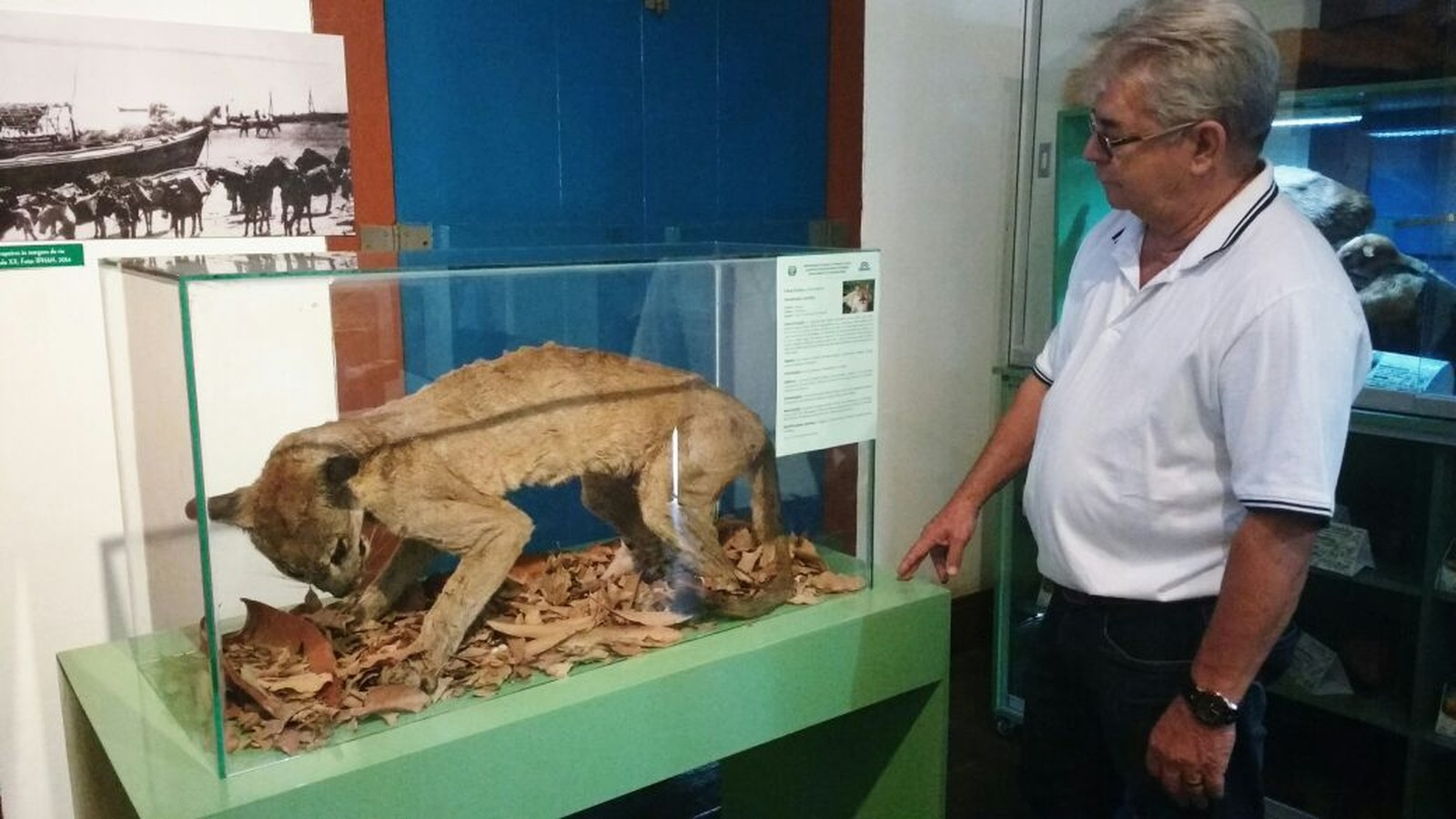 Onça que morreu debilitada em aldeia está exposta no Museu Regional do Norte de Minas