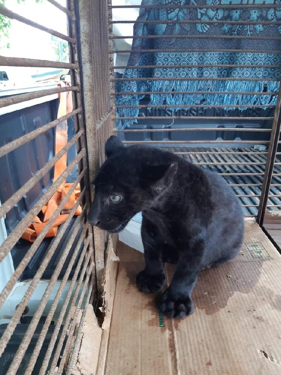 Filhote foi encaminhado para hospital veterinário e passará por tratamento antes de ser solto novamente — Foto: Sema-MT/Assessoria