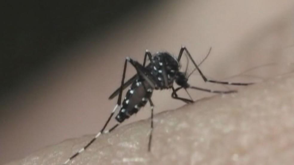 Aedes Aegypti, mosquito que transmite a dengue — Foto: Reprodução/EPTV