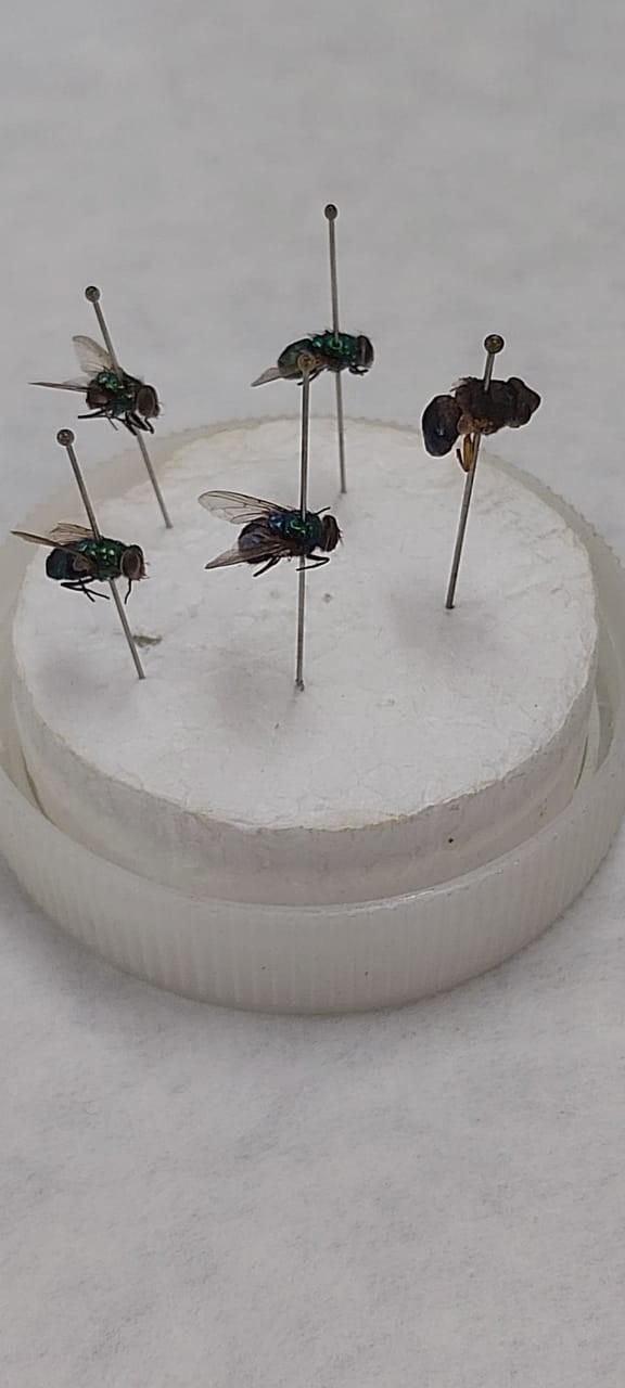 Pesquisa de Minas Gerais mostra que moscas podem ajudar na investigação de homicídios