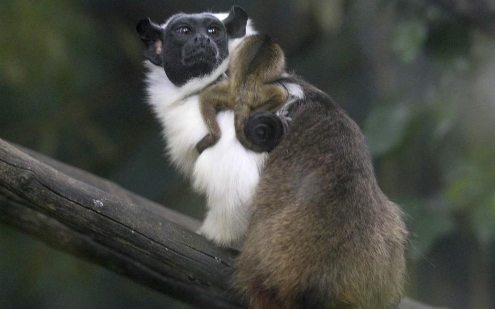 Filhote de sauim-de-coleira aninhado em um dos pais, no Zoológico de Brasília, em foto de aqrquivo — Foto: Toninho Tavares/Agência Brasília