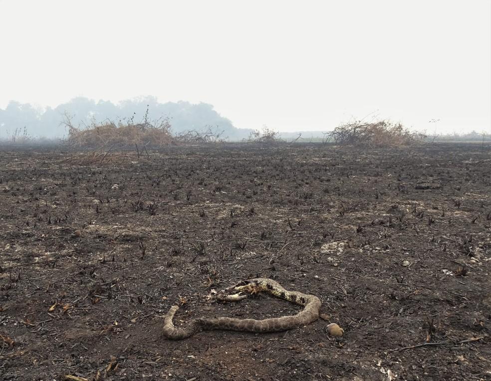 Sucuri encontrada morta durante pesquisa no Pantanal em 2020 — Foto: Gabriela do Valle Alvarenga/Arquivo Pessoal