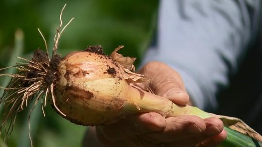 Produtor da Região Metropolitana de Curitiba investe no cultivo de cebola orgânica