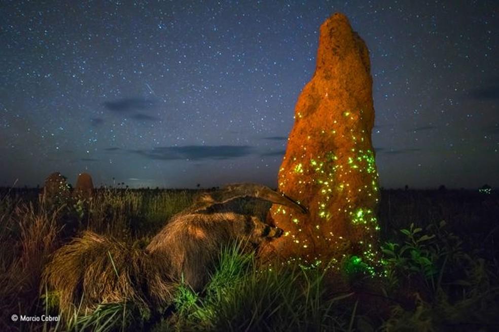 Especialistas analisaram a foto tirada no Parque das Emas, no Brasil, comparando o tamanduá registrado com um empalhado e concluíram que se trata do animal estático (Foto: Marcio Cabral)