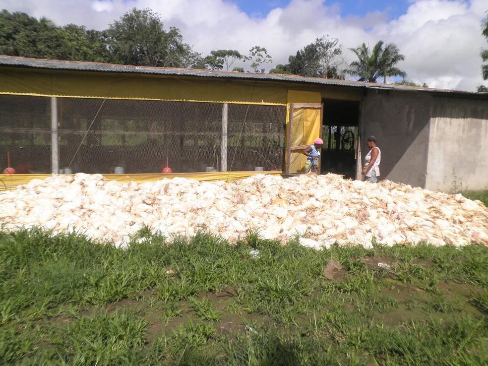 Milhares de frango morrem em granjas na BA (Foto: Divulgação/ABA)