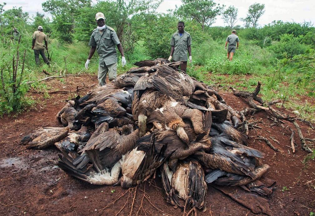 Carcaças de dezenas de abutres envenenados são amontoadas em Mbashene, Moçambique. No mínimo 80 abutres-de-rabadilha-branca e 7 abutres-de-capuz, ambas espécies ameaçadas de extinção, morreram devido a veneno colocado por caçadores na carcaça de um elefante. Praticantes da caça ilegal matam as aves para usar suas partes na medicina tradicional, e também porque os abutres sobrevoam a caça e revelam sua localização aos guardas (Foto: Andre Botha/Endangered Wildlife Trust Photo via AP)