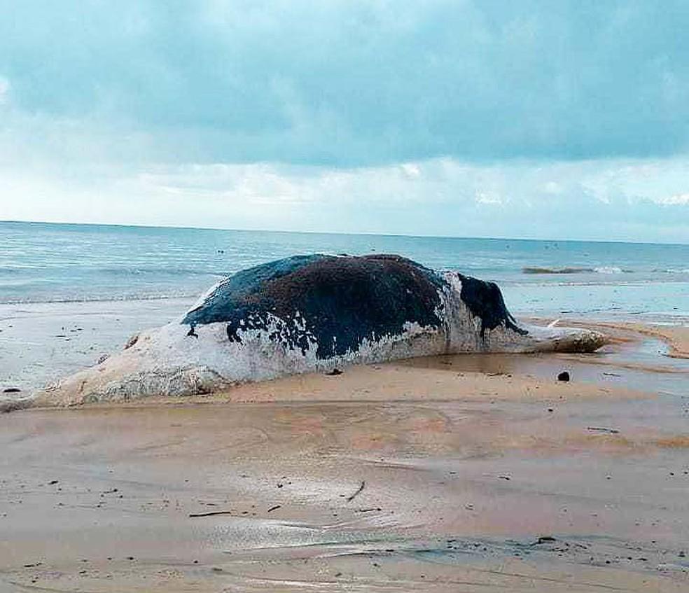 Baleia jubarte foi achada morta com marcas de mordidas de tubarão no extremo sul da Bahia (Foto: Dantas de Oliva/Site Prado Notícia)