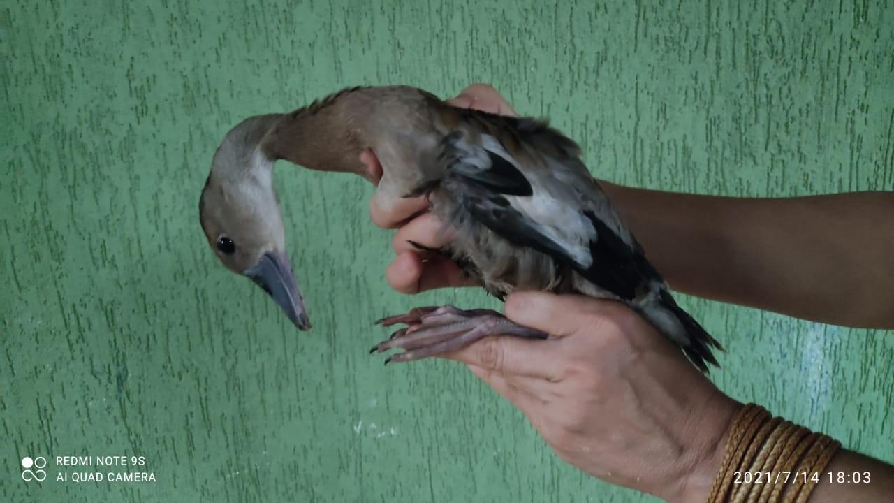 Filhote de pato é resgatado após fugir de cativeiro e ser encontrado vagando por rua em Brejinho de Nazaré