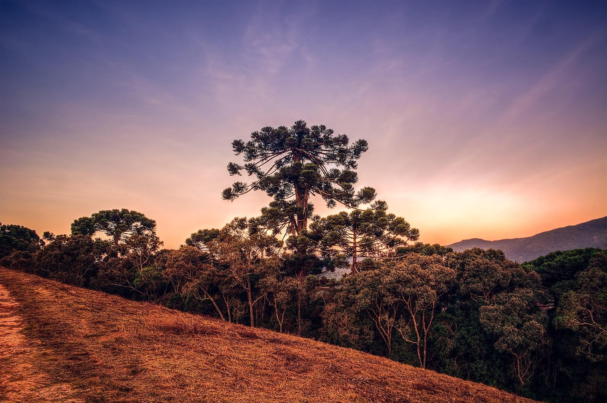Araucária pode ser extinta nas próximas décadas por conta de desmatamento (Foto: Rafael Vianna Croffi/Wikimedia Commons)