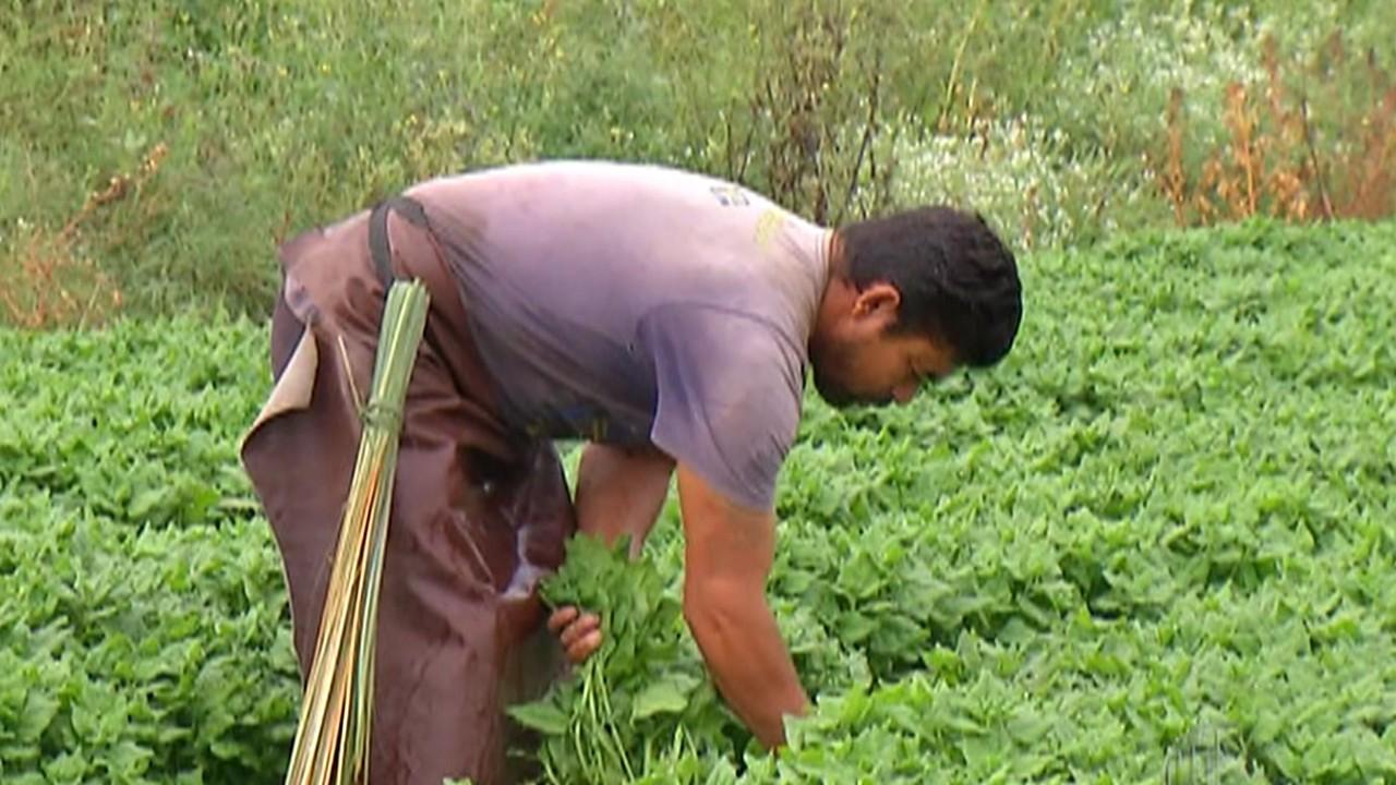 Falta de chuva impacta produção de hortaliças em Arujá