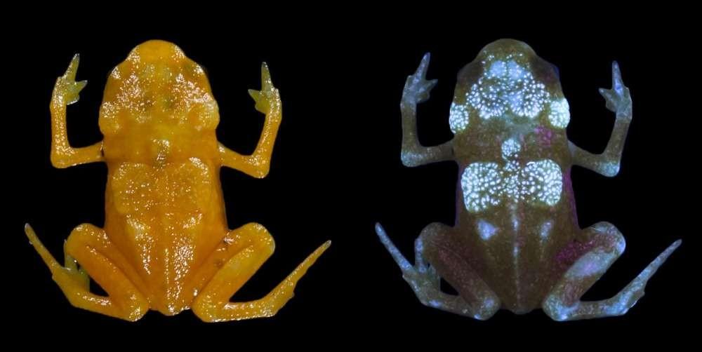 """""""Sapo-abóbora"""" na luz natural ( direita) e sob a luz UV (esquerda) (Foto: Universidade de Nova York / Sandra Goutte)"""