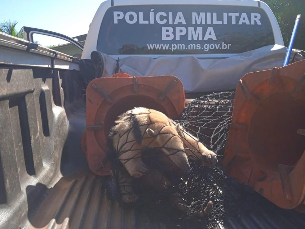 Tamanduá captura por equipe da PMA em cidade de MS — Foto: PMA/Divulgação