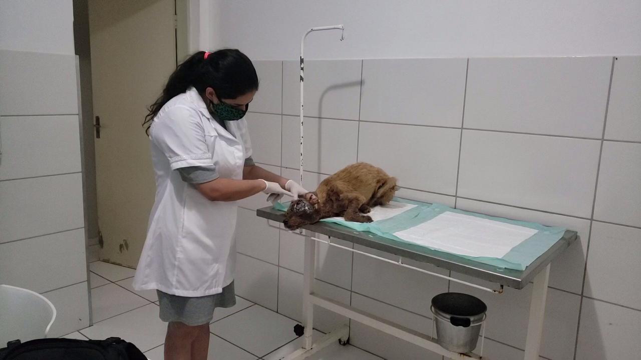 Cachorra é resgatada com ferimentos graves após denúncia de maus-tratos e tutor é encaminhado à delegacia