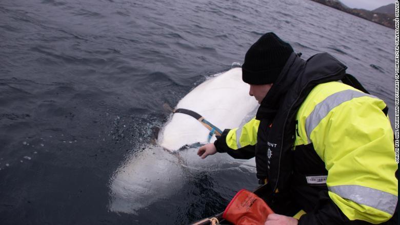 Baleia beluga que estava usando coleira de origem russa foi encontrada na Noruega (Foto: Norwegian Direcorate of Fisheries Sea Surveillance Unit )