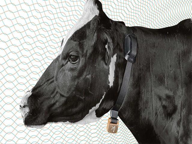 Grupos como Batavo se beneficiam do monitoramento individual dos animais com sensores e alerta por celular (Foto: Divulgação)