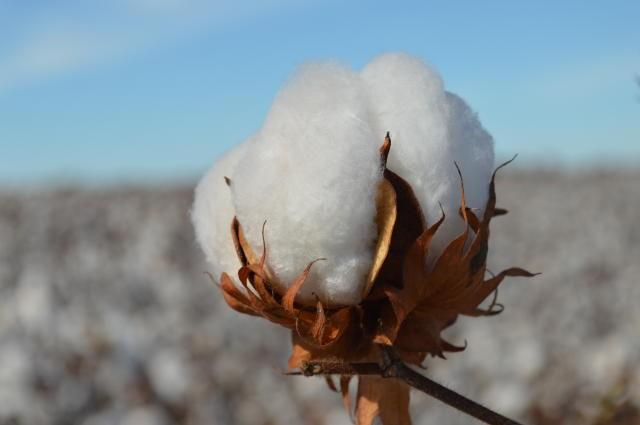 agricultura-algodao-embrapa (Foto: Embrapa)