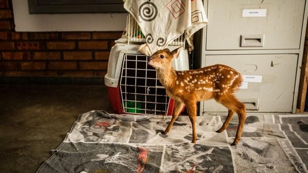 Filhote de cervo encontrado solitário recebe acompanhamento de voluntários — Foto: Frico Guimarães/Documenta Pantanal/BBC
