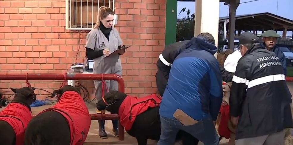 Todos os animais que participam da Expointer são inspecionados pelo serviço veterinário oficial — Foto: Reprodução/RBS TV