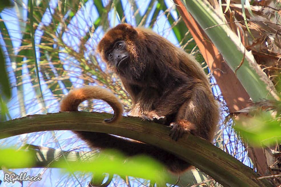 Bugio e sua expressão marcante: o comportamento dos primatas também é mostrado pelo fotógrafo — Foto: Roberto Gallacci/Arquivo Pessoal