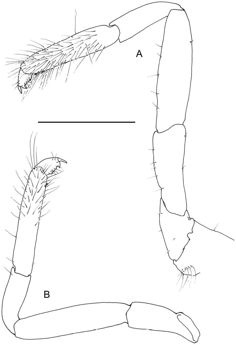 Patas do Odontonia bagginsi ilustradas por De Grier (Foto: De Gier and Fransen/ZooKeys, 2018)