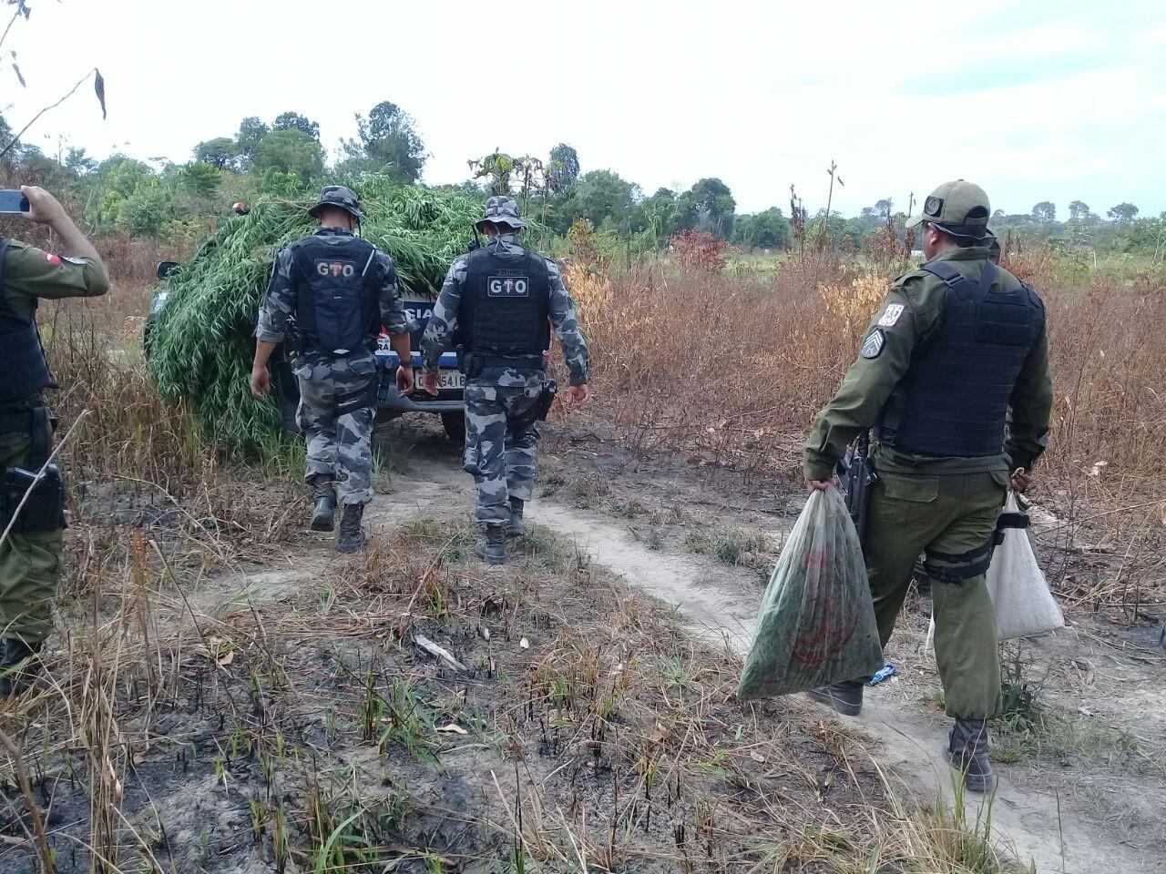 Polícia apreende 5 mil pés de maconha em Aurora do Pará