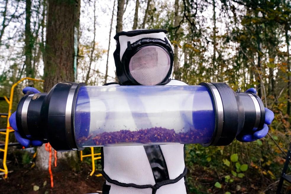 Sven Spichiger, entomologista responsável pelo Departamento de Agricultura do Estado de Washington, exibe vespas gigantes asiáticas aspiradas de um ninho em uma árvore no sábado, em Blaine, Washington  — Foto: AP Photo / Elaine Thompson