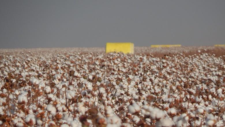 agricultura-algodao (Foto: Raphael Salomão/Ed. Globo)