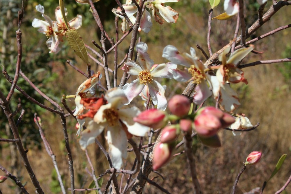 Flor típica do Cerrado — Foto: Gustavo Rocha