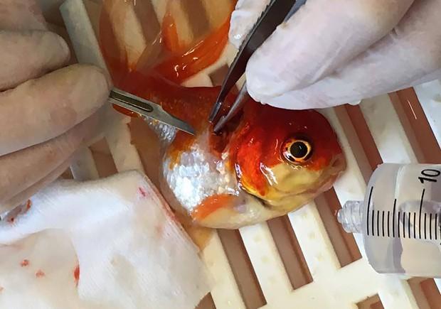 Peixe-dourado passa por cirurgia para retirada de tumor na Inglaterra