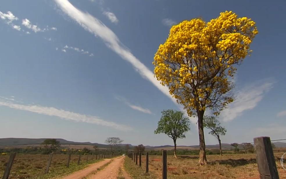 Ipês floridos chamam a atenção no cerrado (Foto: Reprodução/TV Globo)
