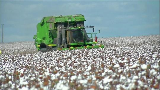 Começa a colheita do algodão em Mato Grosso