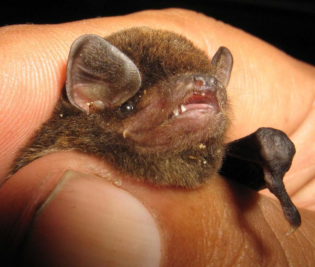 Morcego da espécie Miniopterus inflatus tem 1/5 de genoma do vírus de ebola (Foto: Flickr/KD Dijkstra)