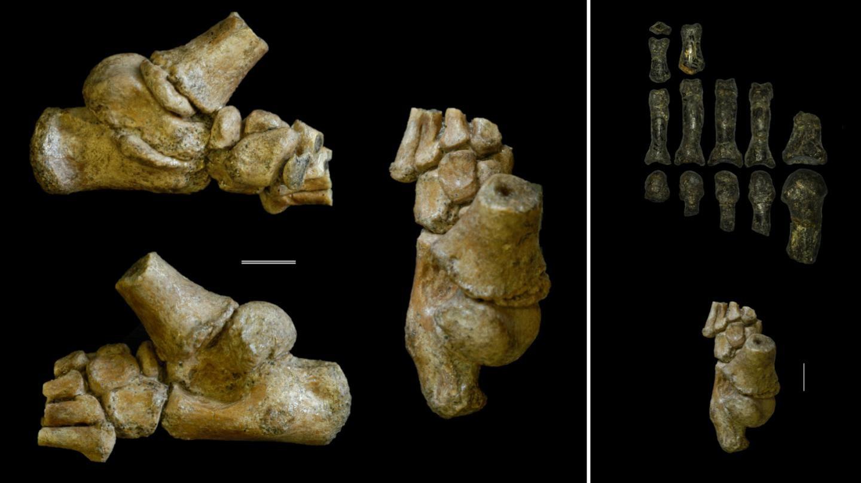 Ossos do pé de criança de dois anos e meio que viveu há mais de três milhões de anos (Foto: Jeremy DeSilva & Cody Prang)