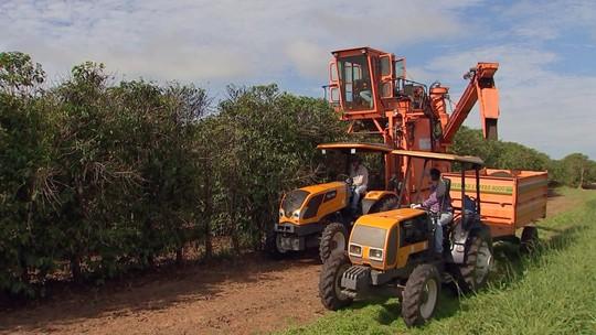 Safra de café será menor na região de Marília
