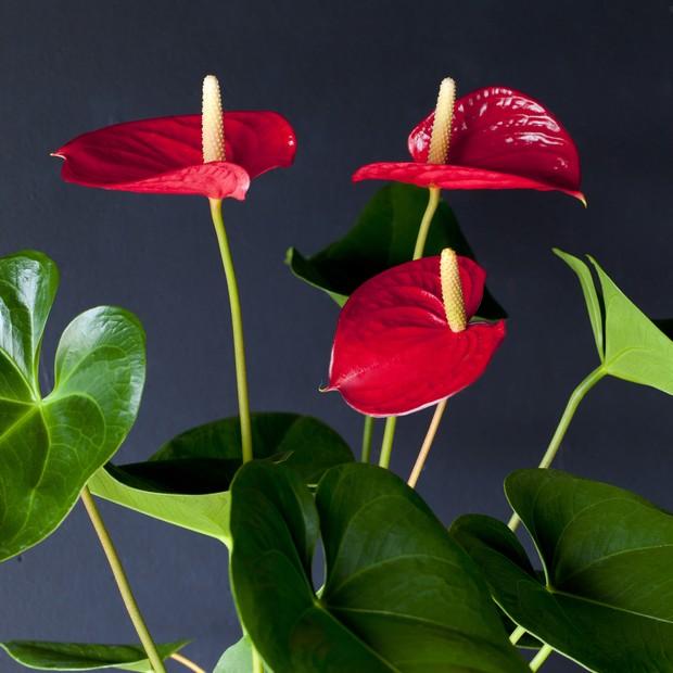 Plantas no home office aumentam a produtividade. Veja espécies indicadas (Foto: Getty Images/amana images RF)