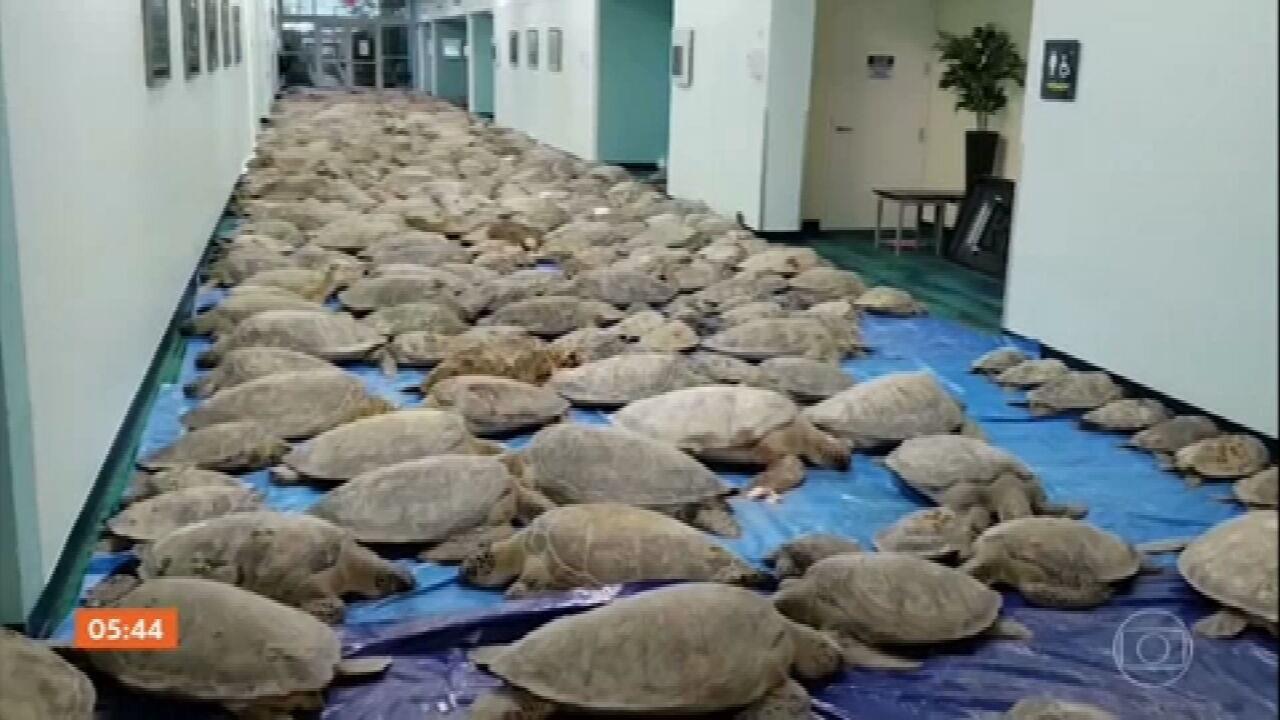 Por causa da nevasca nos EUA, tartarugas são resgatadas na região costeira do Texas
