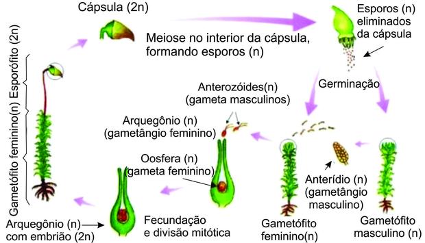 Esquema do ciclo reprodutivo das Briófitas