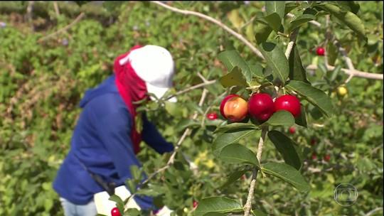 Frutas que deveriam ir para o mercado apodrecem no campo, em Pernambuco