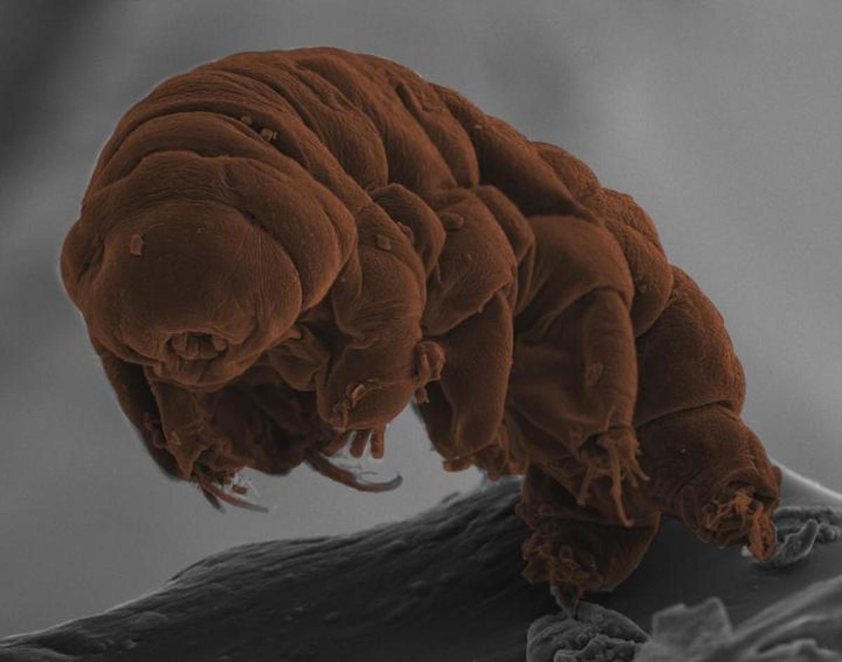 Análise genética revela segredos da criatura mais resistente do mundo