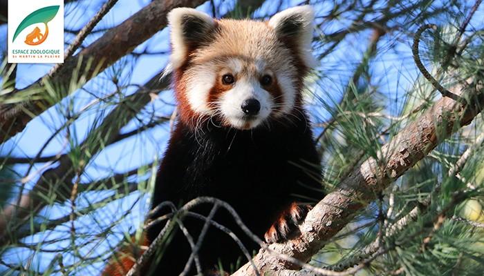 O panda vermelho escapou de um zoológico na França (Foto: Reprodução/Espace Zoologique - St Martin la Plaine)