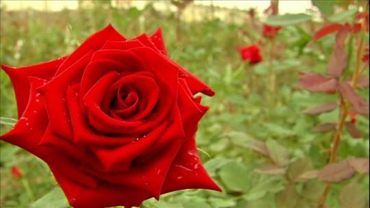 Produção de rosas no Ceará se adapta ao clima e vira atração turística