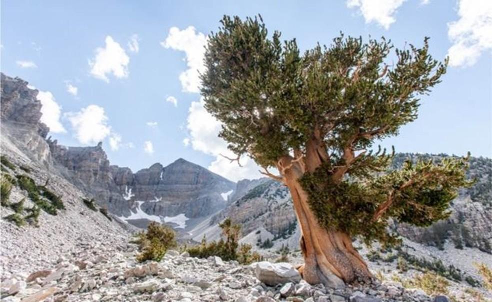 Pinheiro bristlecone na Grande Bacia, no oeste dos Estados Unidos — Foto: Getty Images