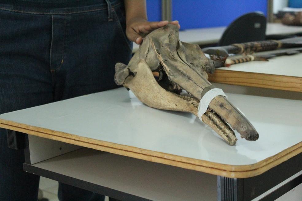 Fóssil de boto exposto no Museu da Memória Rondoniense, em Porto Velho. — Foto: Pedro Bentes/G1